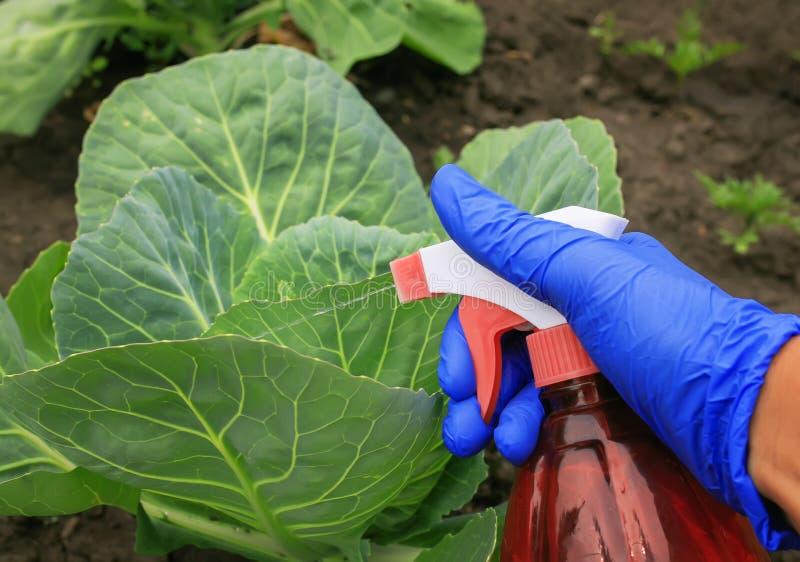 在橡胶手套的手在夏天庭院进行在处理的农业劳动从嫩卷心菜的虫的浪花 库存照片