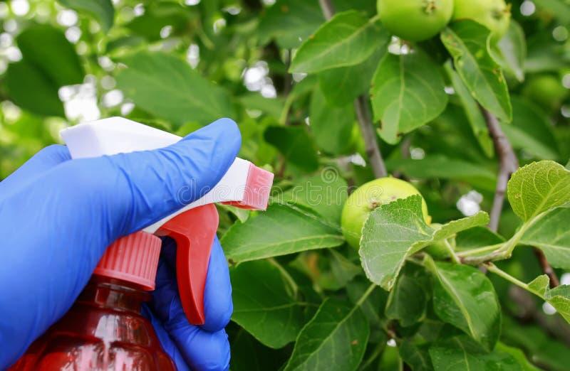 在橡胶手套的手在庭院进行在处理的农业劳动苹果浪花虫庄稼在夏天 库存照片