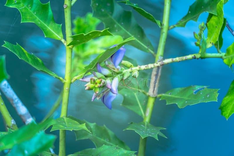 在水中上升在南塔河Pom Klong歌曲Nam每两年植物的紫色花  免版税库存图片