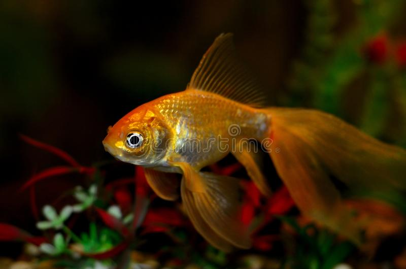 在水族馆的金鱼有绿色植物的 免版税库存图片
