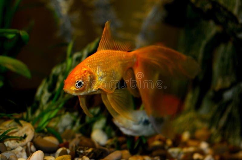 在水族馆的金鱼有绿色植物的 免版税库存照片