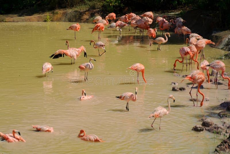在水的桃红色火鸟鸟 库存照片
