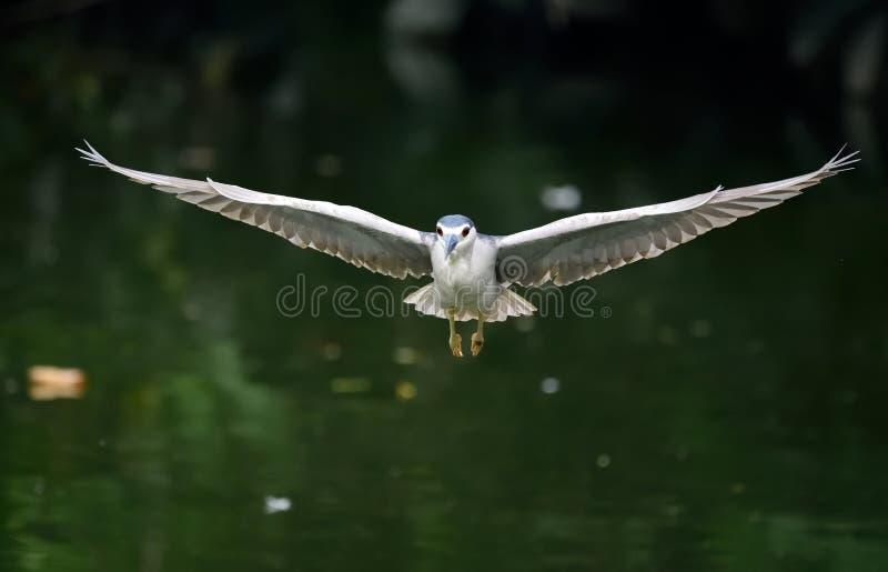 在河的白鹭飞行,在深绿背景中 免版税库存图片