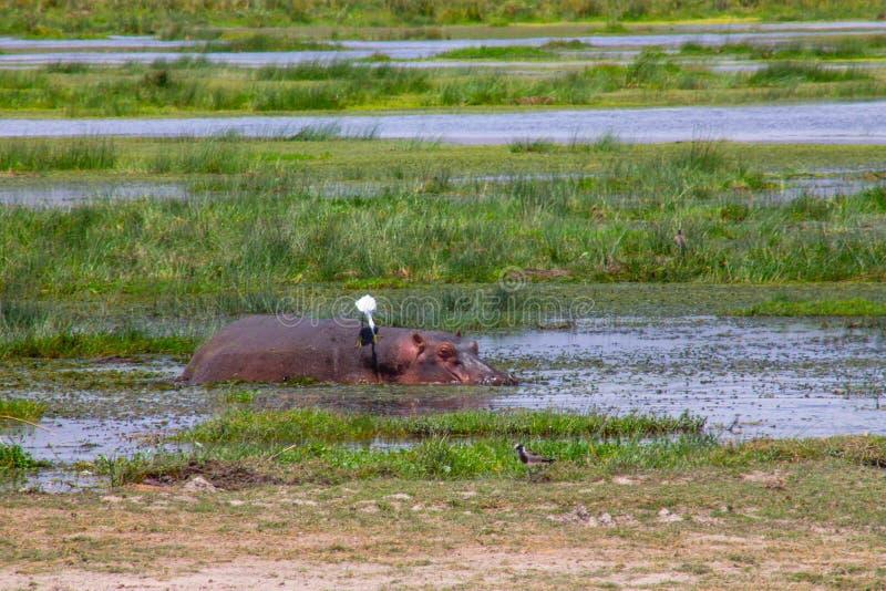 在沼泽的河马短统 免版税库存照片