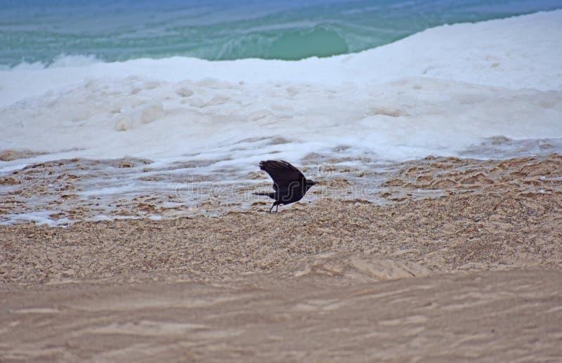 在沙子的黑鹂飞行 库存照片