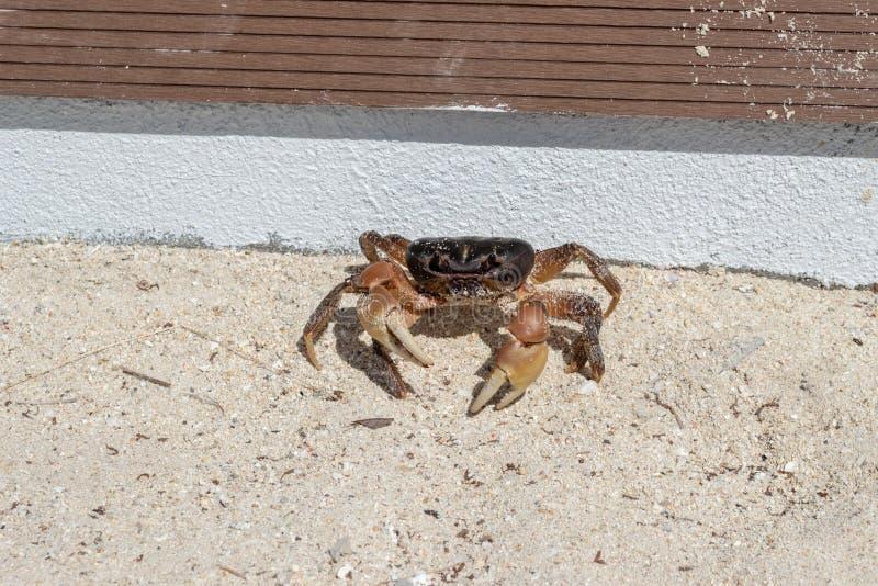 在沙滩的活热带沙子螃蟹ocypode quadrata 库存照片
