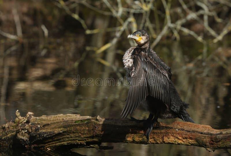 在注册的一个俏丽的鸬鹚鸬鹚羰身分拍动它的翼的湖的中部在寻找以后在wate下 免版税库存照片