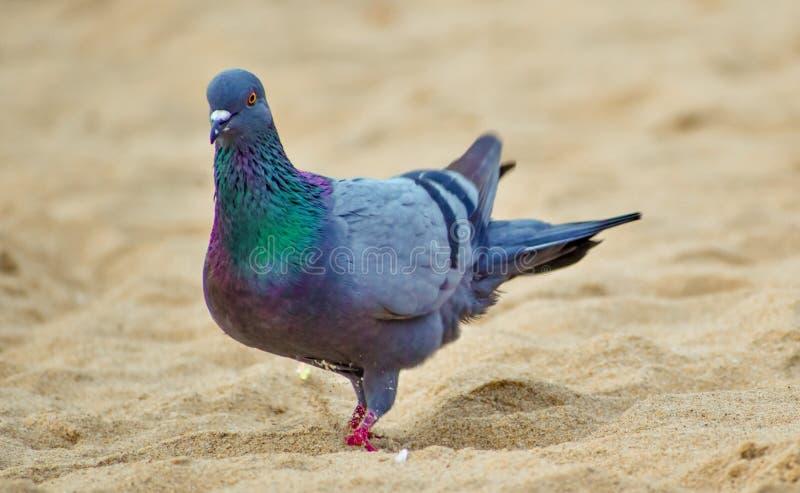 在海海滩的一只美丽的鸽子 免版税库存照片