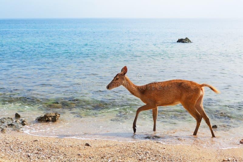 在海海滩的Javan Rusa鹿 免版税图库摄影