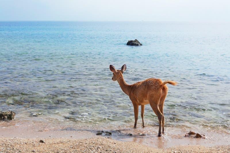 在海海滩的Javan Rusa鹿 免版税库存图片