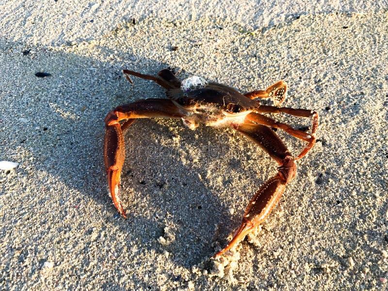 在海滩的游水螃蟹 免版税库存图片