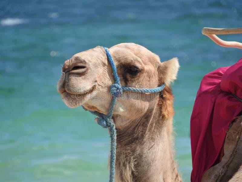 在海滩的骆驼在突尼斯,非洲在反对蓝色海的一个晴天 免版税库存照片