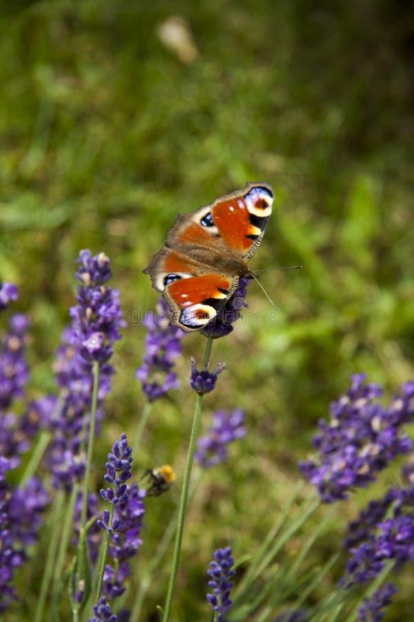 在淡紫色精美紫色花的明亮的夏天蝴蝶孔雀眼睛  免版税库存照片