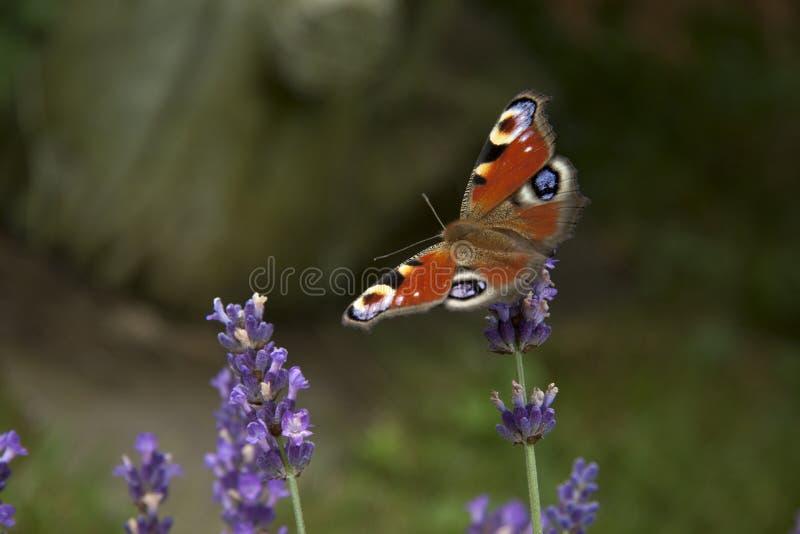 在淡紫色精美紫色花的明亮的夏天蝴蝶孔雀眼睛  库存图片