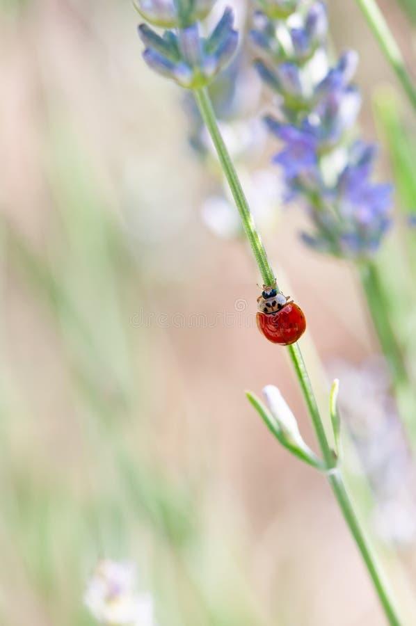 在淡紫色angustifolia,熏衣草属开花的瓢虫在药草园里在evning的阳光,日落下 免版税库存照片