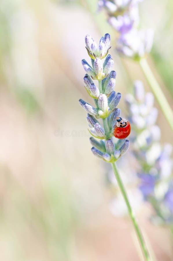 在淡紫色angustifolia,熏衣草属开花的瓢虫在药草园里在evning的阳光,日落下 图库摄影