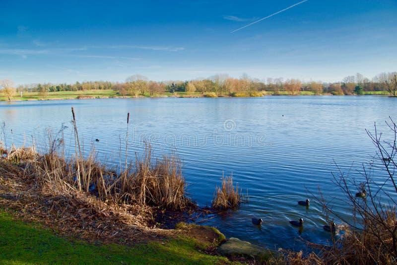 在湖的雌红松鸡 图库摄影