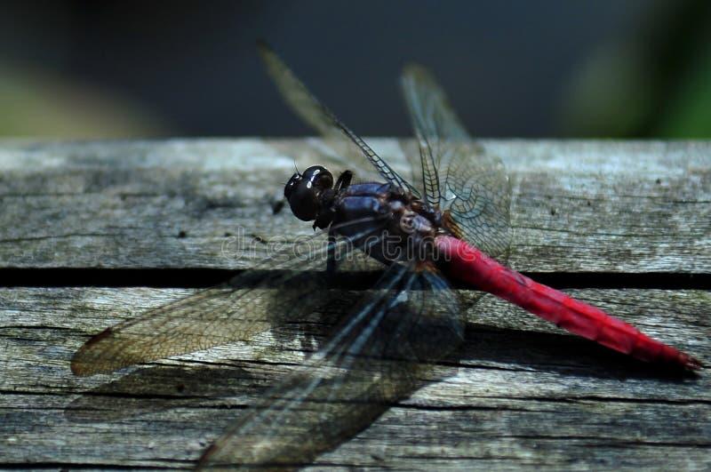 在木地板上的红色蜻蜓 免版税库存照片