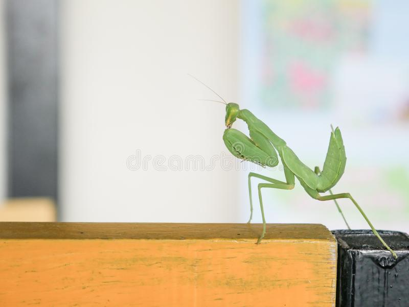 在木桌上的鲜绿色的捕食的螳螂Mantid螳螂螳螂科Mantodea在泰国 库存图片