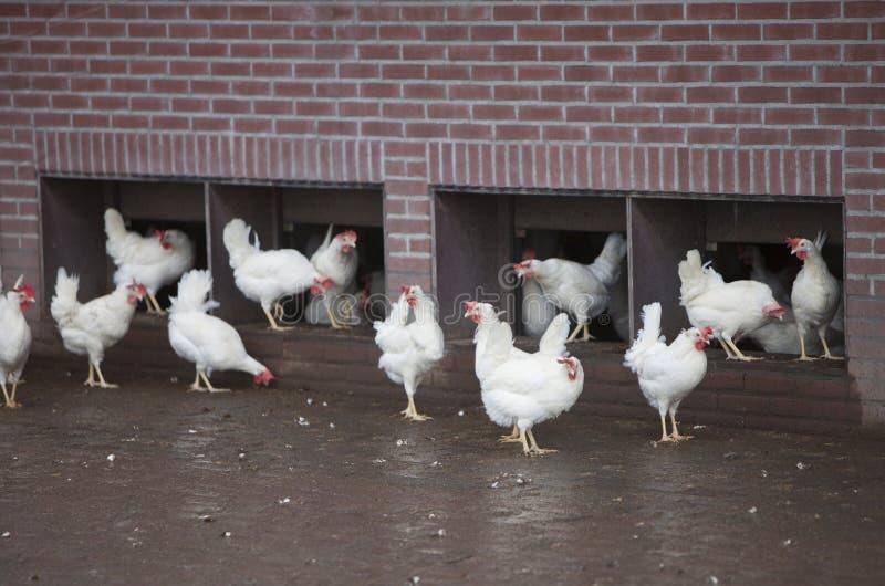 在有机农场的自由漫游的白色鸡在乌得勒支附近在荷兰 库存照片
