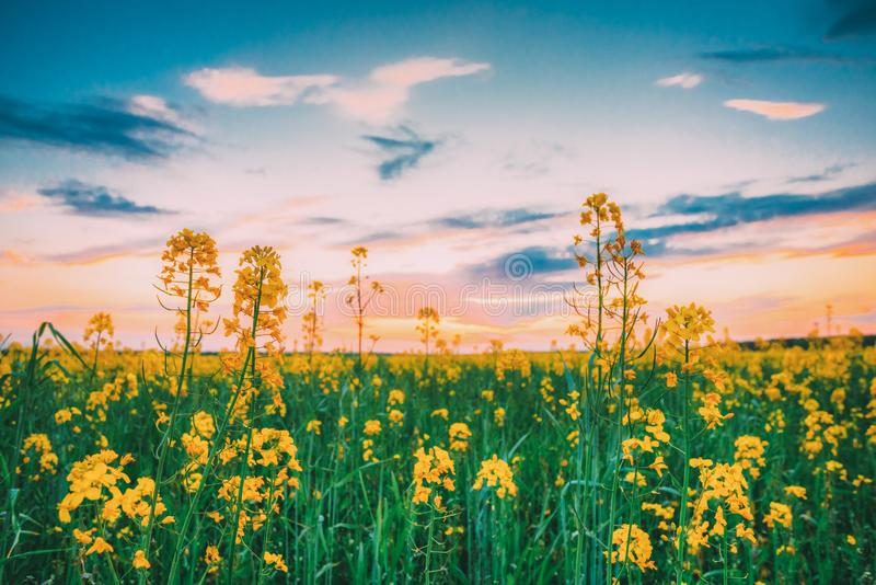 在春天开花的油菜,强奸,油菜籽,油籽种子领域草地早熟禾的日落日出 关闭油菜开花  免版税库存照片