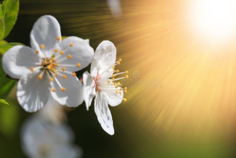 在春季的桃红色佐仓花绽放 葡萄酒甜樱桃开花软的口气纹理背景 库存照片