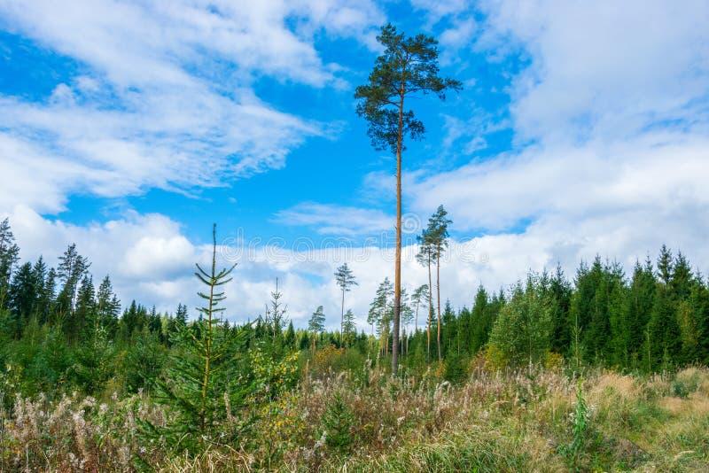 在明亮的天空蔚蓝背景的绿色高杉木  绿色冷杉木,在天空蔚蓝的白色云彩 免版税库存图片
