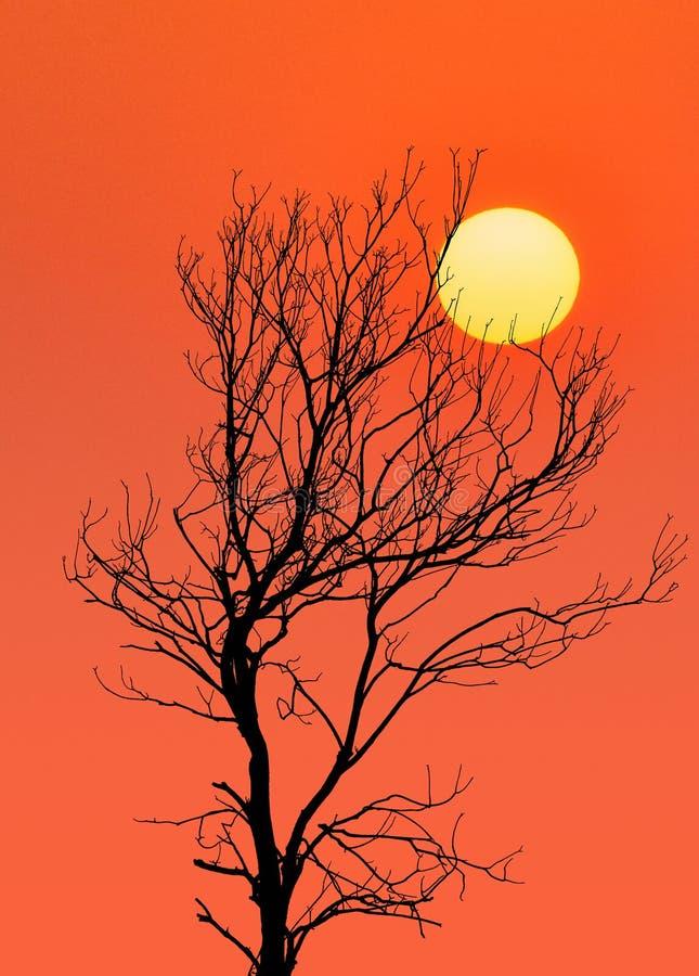 在日落的干燥树剪影 库存照片