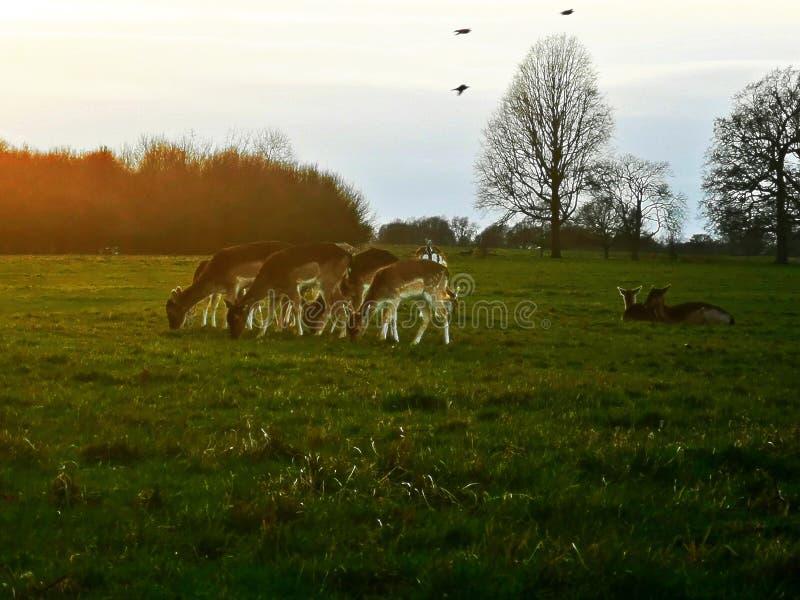 在日落的鹿瞄准在里士满公园,伦敦 图库摄影