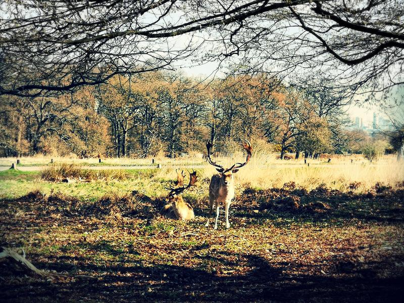 在日落的鹿瞄准在里士满公园,伦敦 库存图片