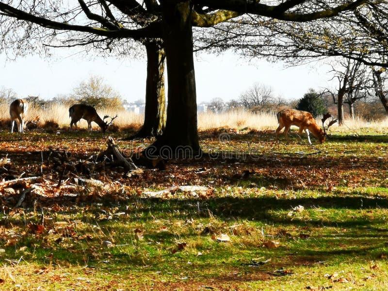 在日落的鹿瞄准在里士满公园,伦敦 免版税库存照片