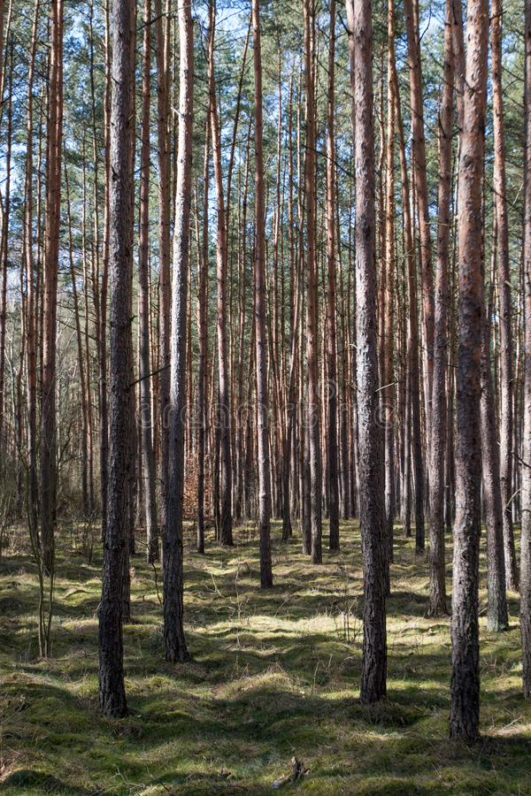 在早期的春天看见的森林 免版税库存照片