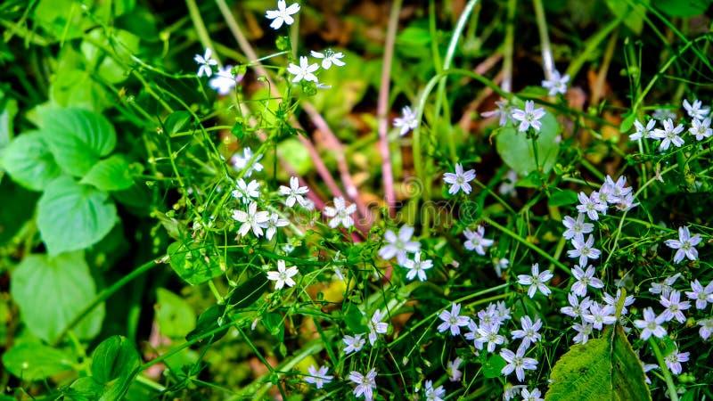在普吉特海湾在一个明亮的晴朗的春日,WA森林地板上的逗人喜爱的微小的苍白紫色春天花  库存照片