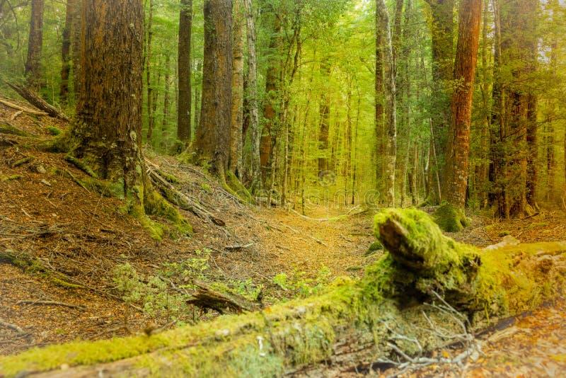 在新西兰雨林里 库存照片