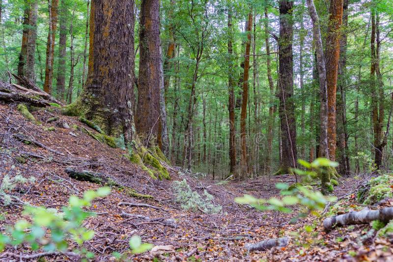 在新西兰雨林里 免版税图库摄影