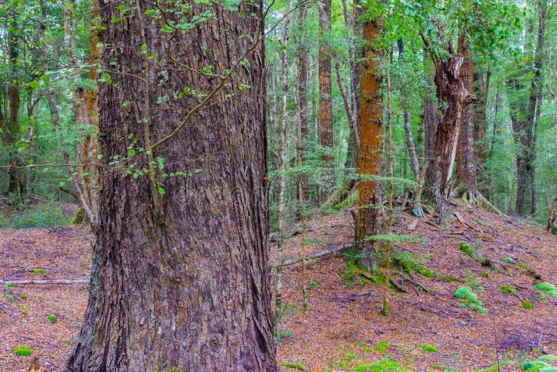 在新西兰雨林里 库存图片