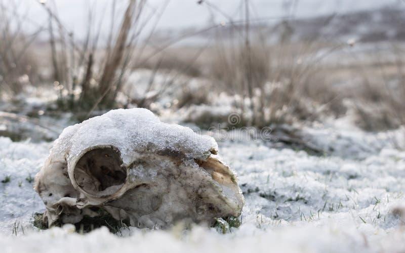 在活力谷威尔士的积雪的绵羊头骨 免版税库存照片