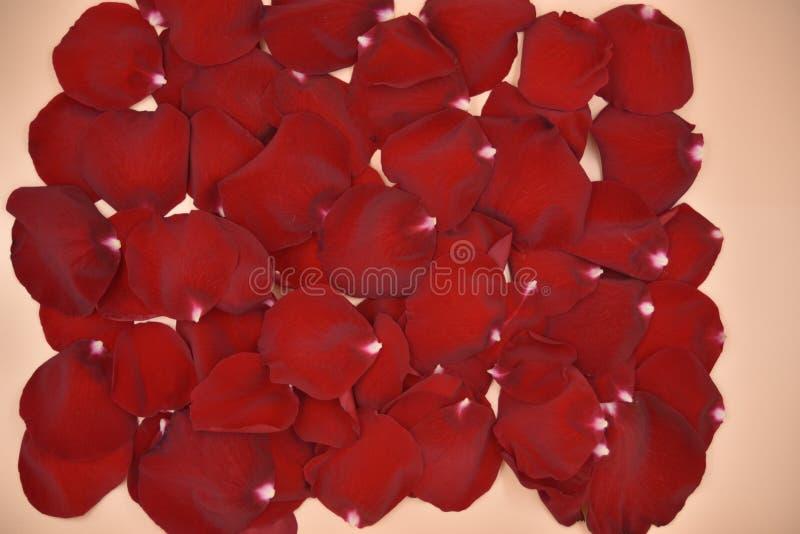 在活珊瑚坚实背景的红色玫瑰花瓣 免版税库存照片