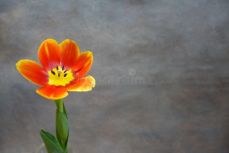 在灰色背景的橙色郁金香 免版税库存照片