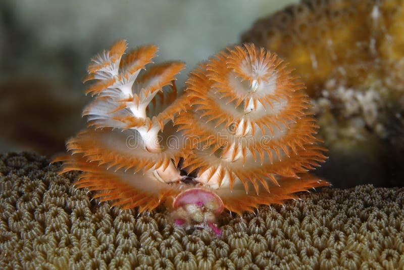 在珊瑚头的圣诞树蠕虫 免版税库存图片