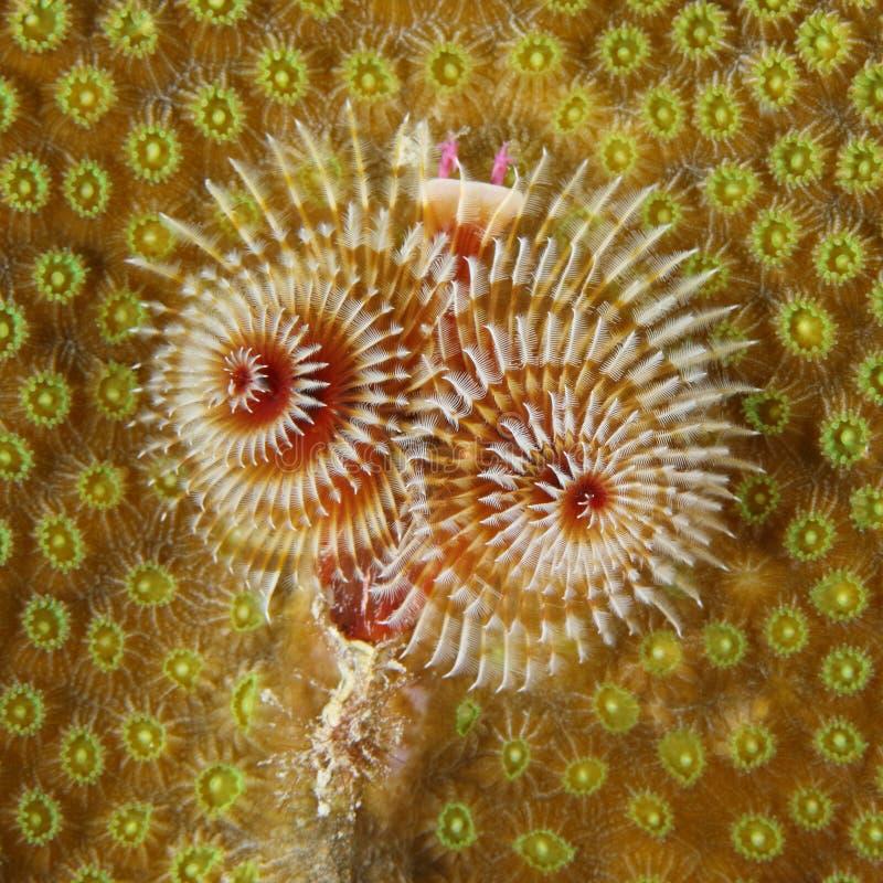 在珊瑚头的圣诞树蠕虫 免版税库存照片