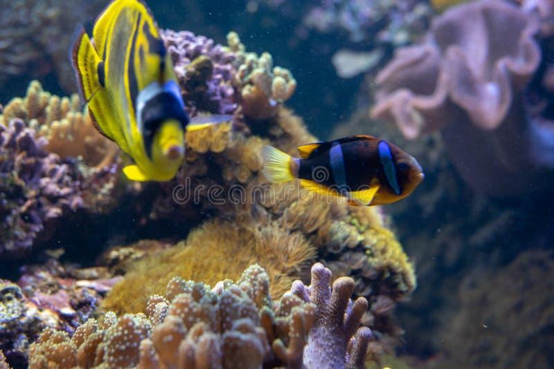 在珊瑚礁的橙色clownfish游泳 免版税库存照片