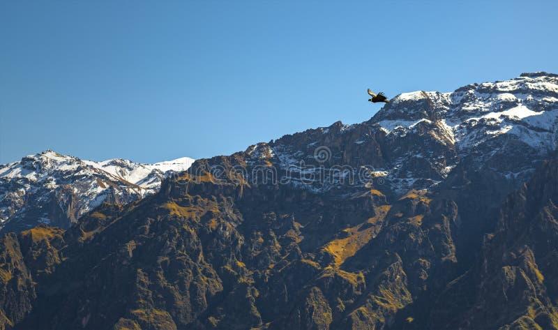 在科尔卡峡谷的安地斯神鹰,秘鲁 免版税库存图片