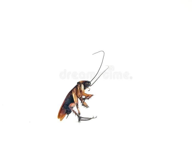 在空白背景的蟑螂 免版税库存图片