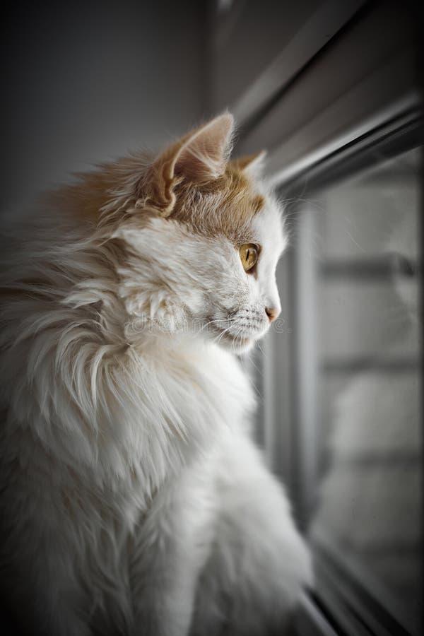 在窗台的美丽的黄色目的猫 库存图片