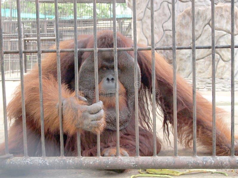 在笼子的猴子 免版税库存照片