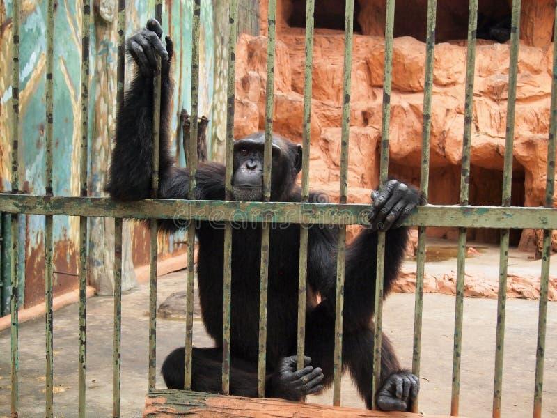在笼子的猴子 库存图片