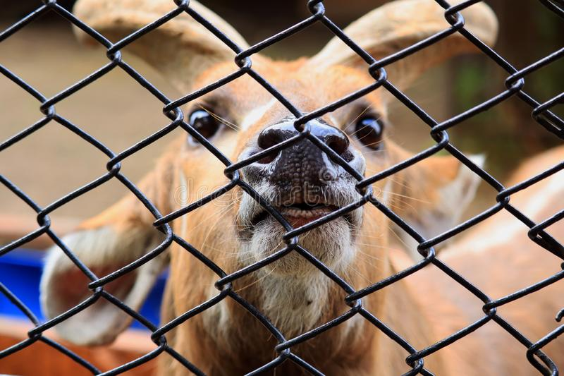 在篱芭后的一头鹿在动物园里 库存图片
