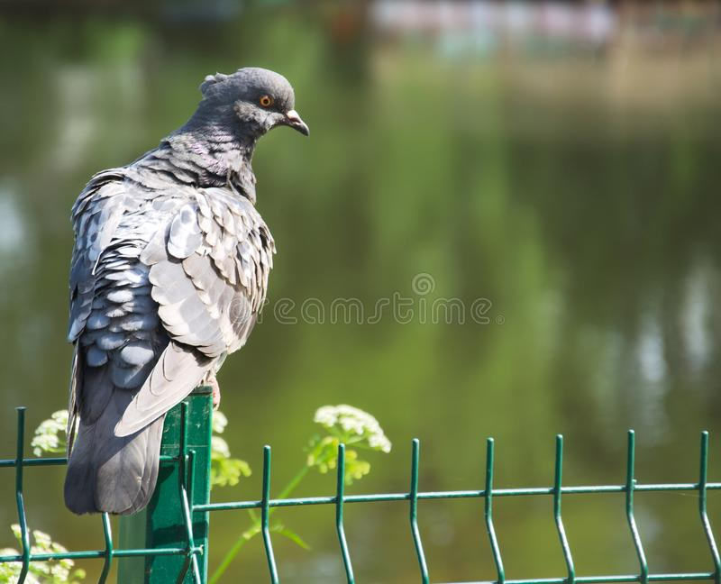 在篱芭的灰色鸽子 免版税库存图片