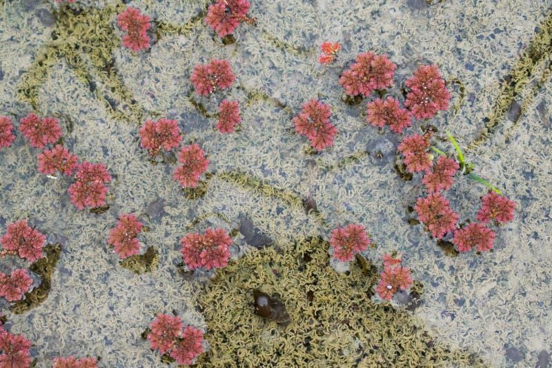 在米领域的浮动红色蚊子蕨类 库存图片